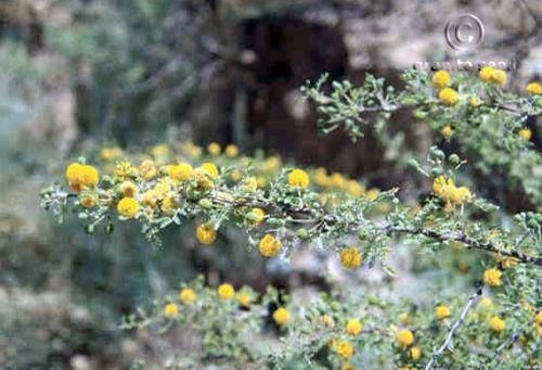 Acacia constricta