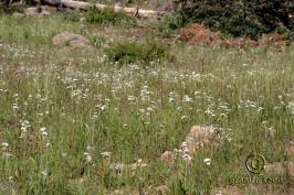 achillea  millefolium var.occidentalis  product gallery #7