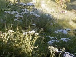 achillea  millefolium var.occidentalis  product gallery #8