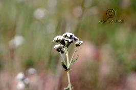 achillea  millefolium var.occidentalis  product gallery #9