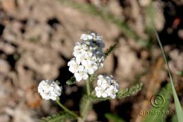 achillea  millefolium var.occidentalis  product gallery #1