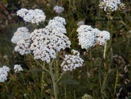 achillea  millefolium var.occidentalis  product gallery #2
