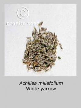 achillea  millefolium var.occidentalis  product gallery #5