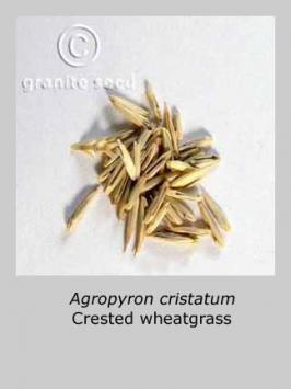 agropyron  cristatum  product gallery #4