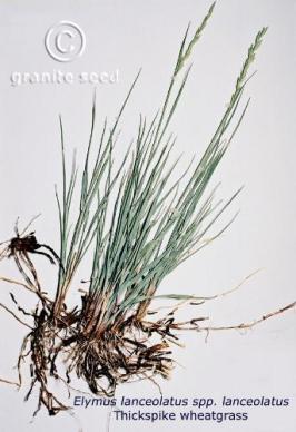 elymus  lanceolatus ssp. lanceolatus  product gallery #2
