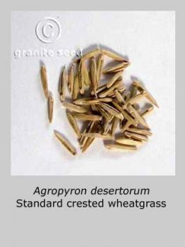 agropyron desertorum product gallery #2