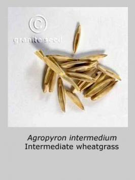 thinopyrum  intermedium  product gallery #4