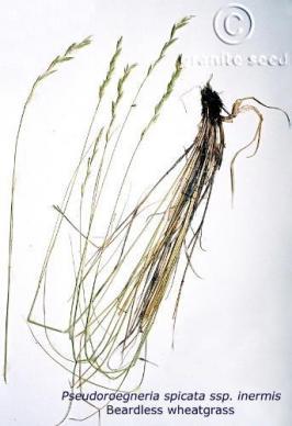 Pseudoroegneria spicata ssp. inermis