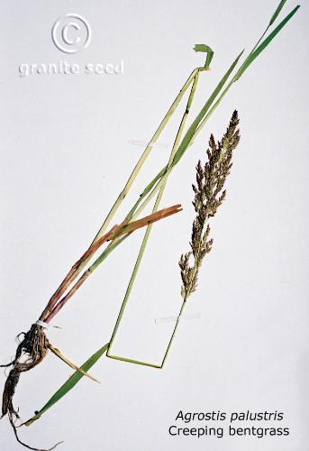 agrostis stolonifera product gallery #1