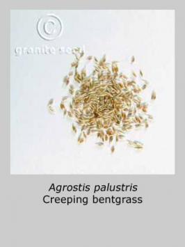 agrostis stolonifera product gallery #2