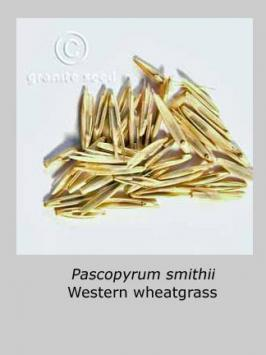 pascopyrum  smithii  product gallery #4