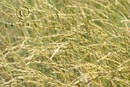 pseudoroegneria spicata ssp. spicata product gallery #6