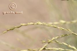 pseudoroegneria spicata ssp. spicata product gallery #8