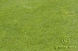 agrostis  capillaris  product gallery #1
