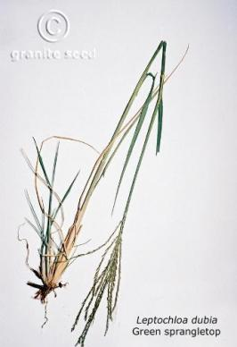 leptochloa  dubia  product gallery #1