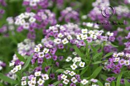 lobularia maritima product gallery #2