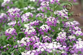 lobularia maritima product gallery #3