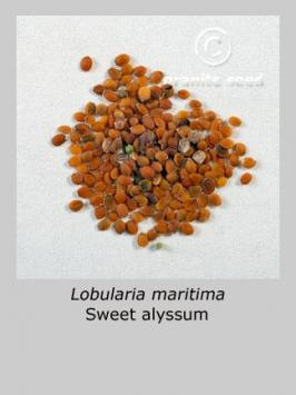 lobularia maritima product gallery #5