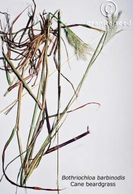 bothriochloa  barbinodis  product gallery #1
