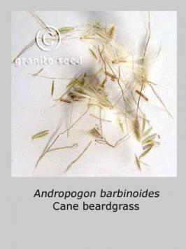 bothriochloa  barbinodis  product gallery #2