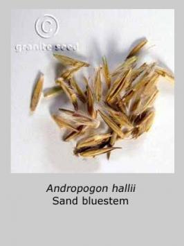 andropogon hallii product gallery #2