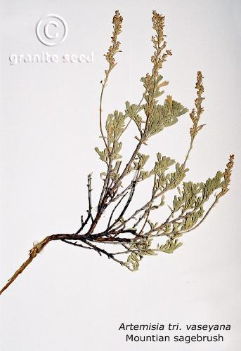 Artemisia tridentata ssp. vaseyana