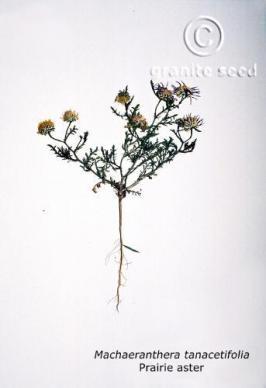 machaeranthera tanacetifolia product gallery #1