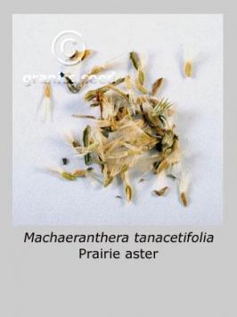 machaeranthera tanacetifolia product gallery #2