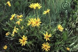 balsamorhiza  macrophylla  product gallery #1
