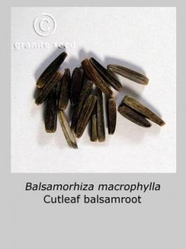 balsamorhiza  macrophylla  product gallery #4