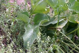 balsamorhiza sagittata product gallery #4