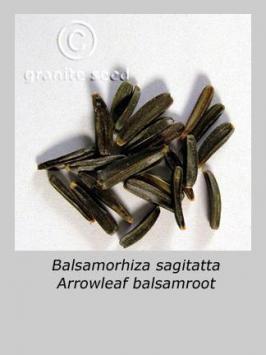 balsamorhiza  sagittata  product gallery #7