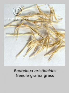 bouteloua  aristidoides  product gallery #3