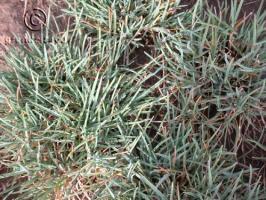Elymus lanceolatus ssp. lanceolatus