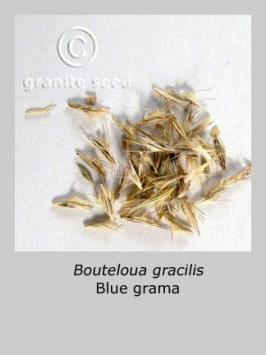 bouteloua gracilis product gallery #4