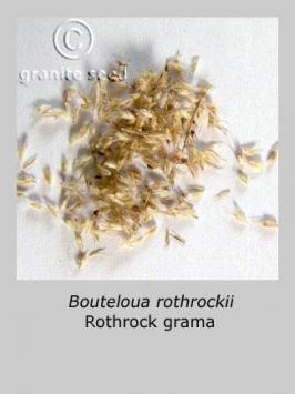 bouteloua  rothrockii  product gallery #2