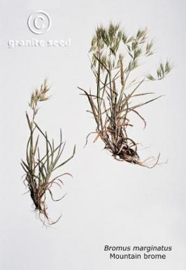 bromus  marginatus  product gallery #2