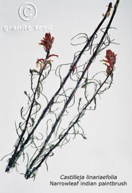 castilleja linariifolia product gallery #2