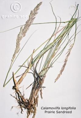 calamovilfa  longifolia  product gallery #1