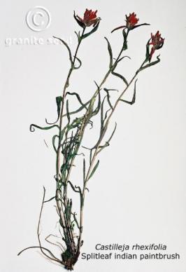 Castilleja rhexiifolia