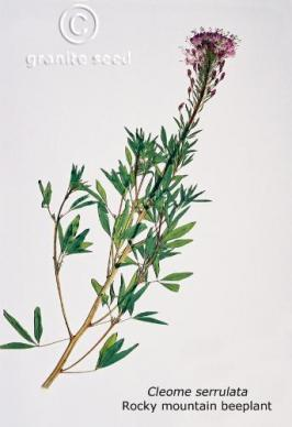 cleome  serrulata  product gallery #1