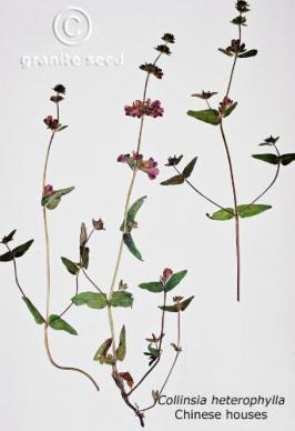 Collinsia heterophylla