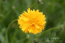 coreopsis  lanceolata  product gallery #2