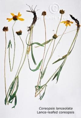 coreopsis  lanceolata  product gallery #6