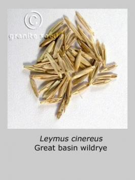 leymus  cinereus  product gallery #5
