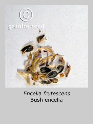 Encelia frutescens