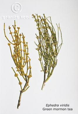 how to grow ephedra viridis