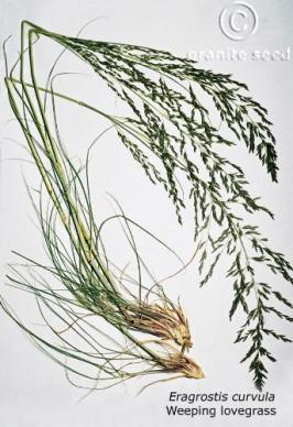 eragrostis  curvula  product gallery #1