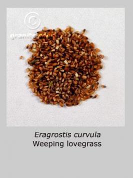 eragrostis  curvula  product gallery #2