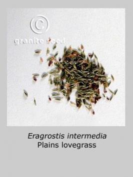 eragrostis intermedia product gallery #3